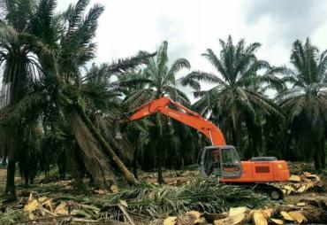 Program Replanting Sawit Mulai Diminati Petani Bengkulu…