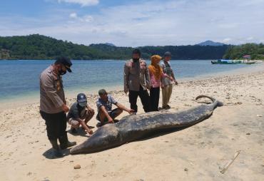 Seekor Ikan Paus Mati di Pantai Pekon Tengor Tanggamus